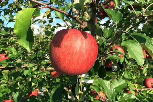 〈第2回 りんご通信〉りんごが赤いのは当たり前じゃない!? そこには知られざる苦労の数々が!